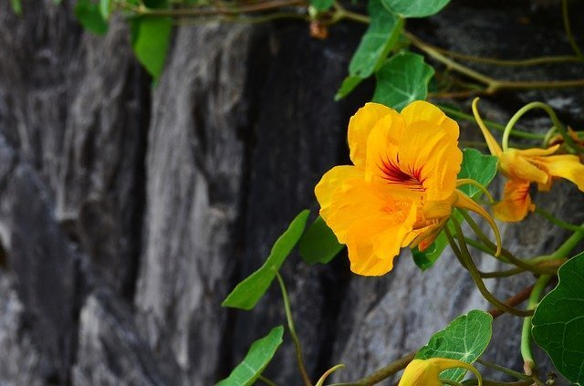 Nasturium blossom on rock wall