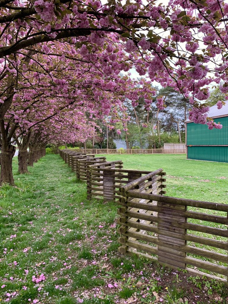 Cherry Blossoms on the Farm